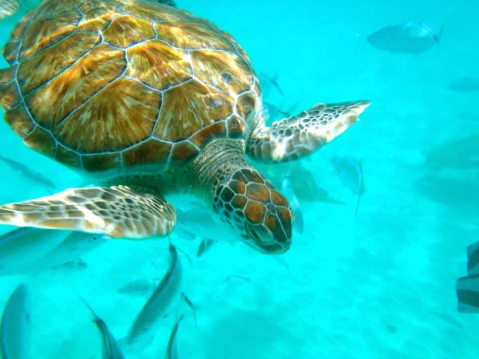 Tartaruga em Barbados