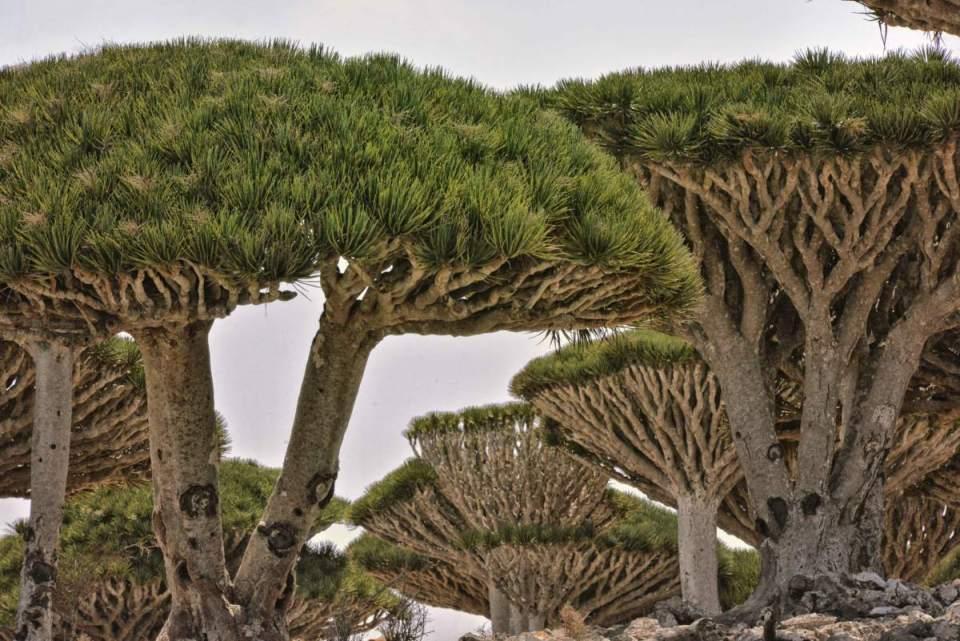Dragon Tree - Ilha Socotra
