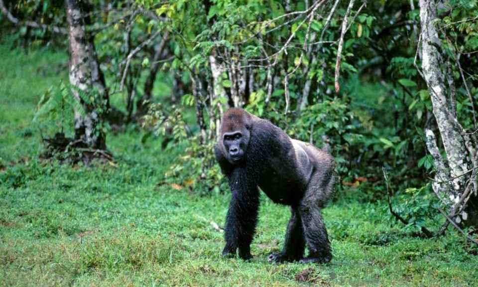 Gorila da floresta da Guiné Equatorial