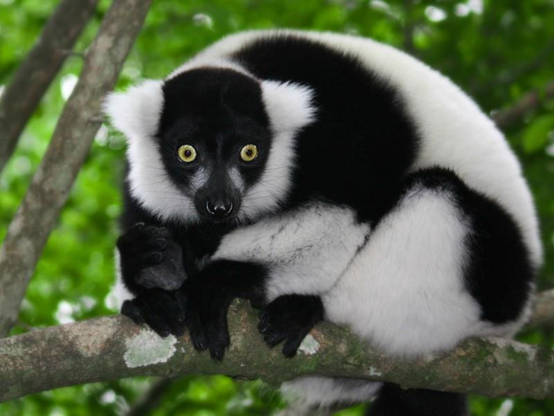 Indri de Madagáscar