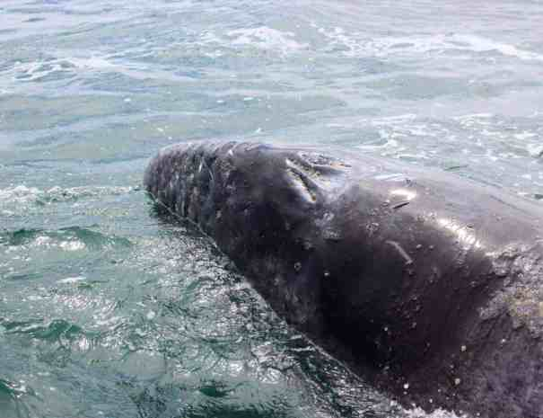 Walbeobachtung Baja California Mexiko