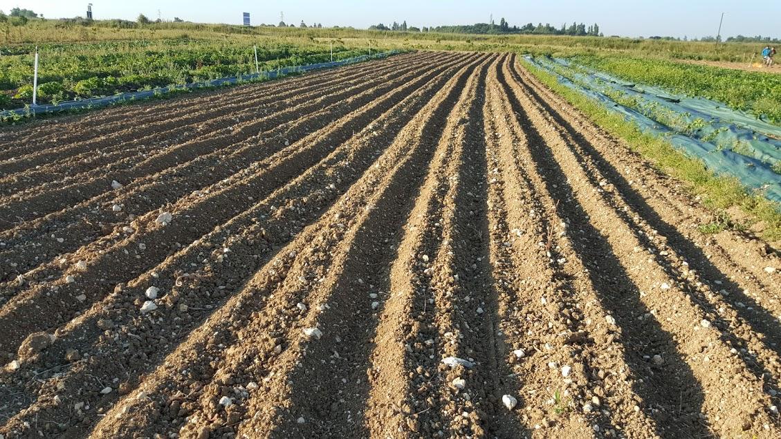 jardin semis carotte