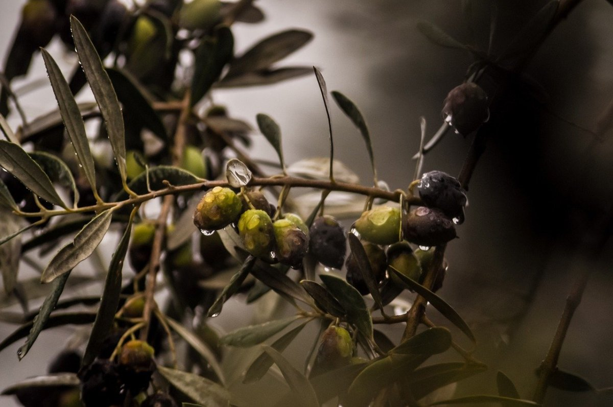How do you grow olives at home?