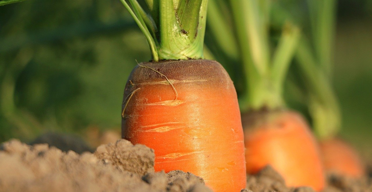 Growing Carrots in Florida