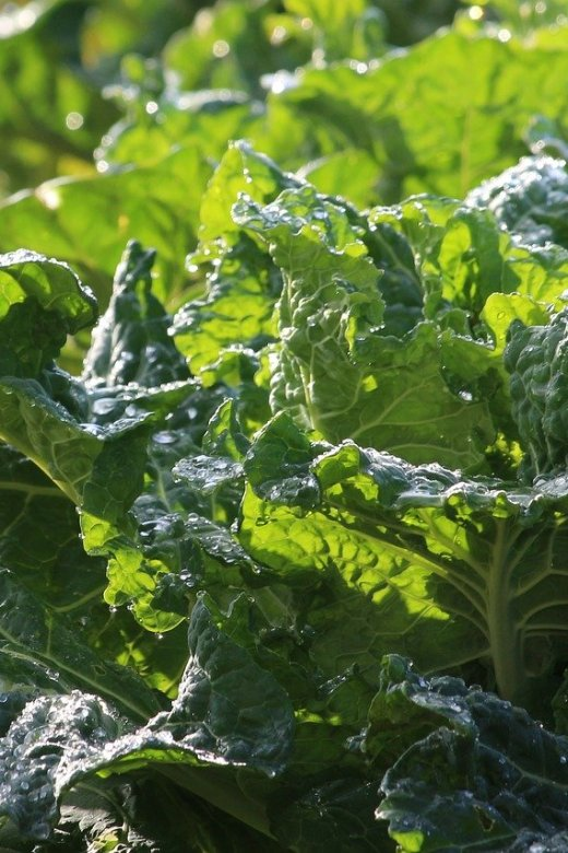 Growing Collard Greens In Florida