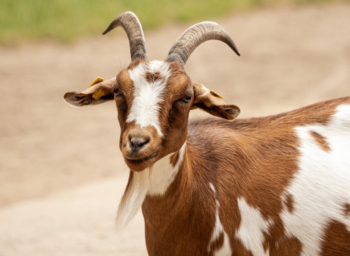 Choosing the Right Breed of Goat