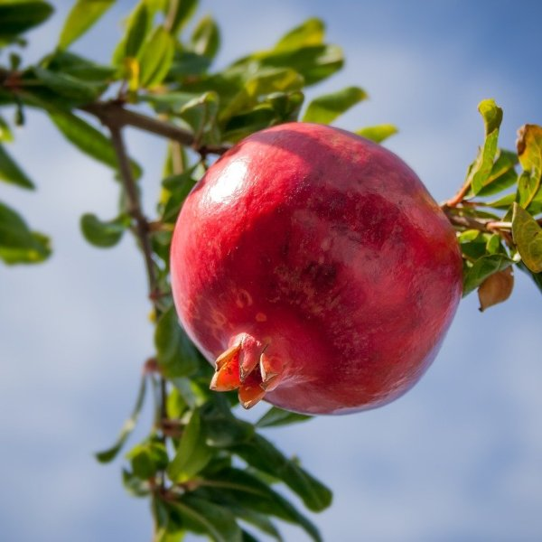 Growing Pomegranate