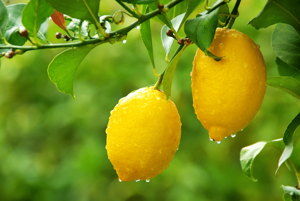 Can You Grow Citrus Trees From Cuttings