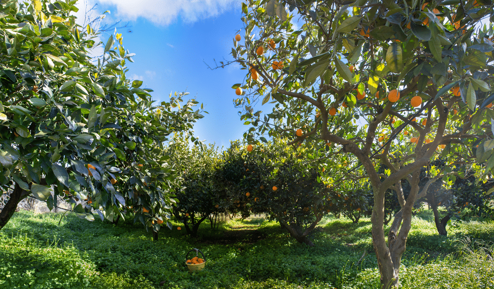 Best Types of Fruit Trees to Plant in Florida