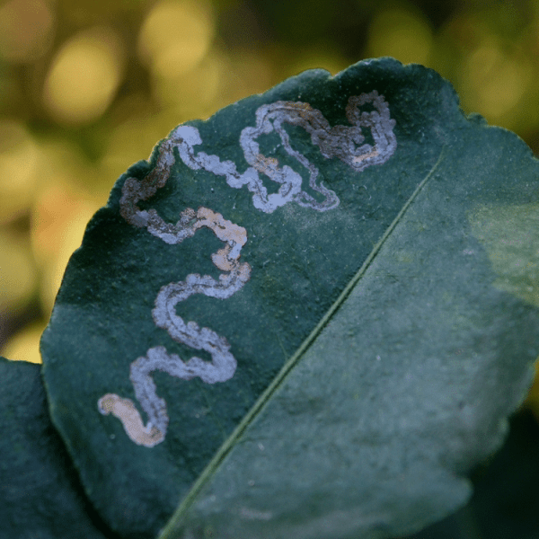How Do You Control Leaf Miner Insects Organically