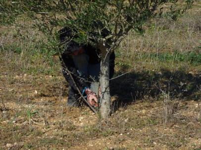 Julien pruning the olives