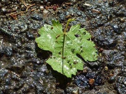 A Carignan leaf