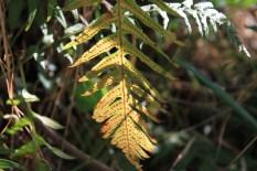 California Leaf Macro