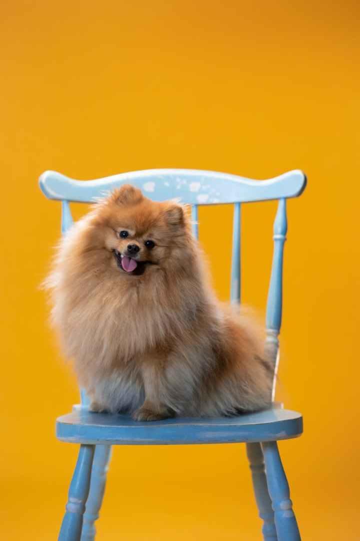 brown pomeranian sitting on blue chair