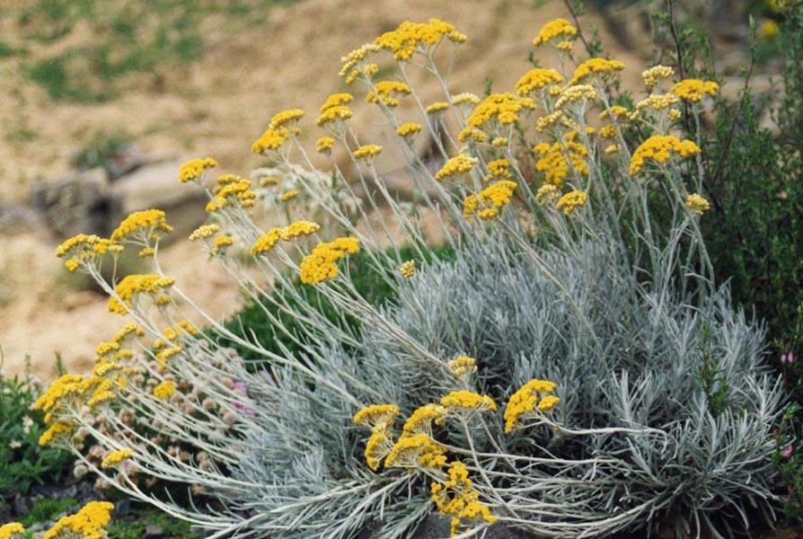 L' elicriso, pianta spontanea ricca di proprietà