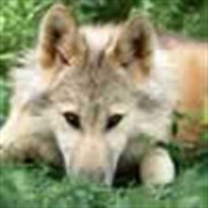 wildwolves