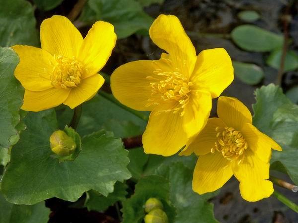 les photos des fleurs du bassin de Jean Yves