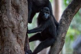 2-tangkoko-6-sulawesi-black-macaques
