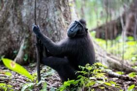 2-tangkoko-8-sulawesi-black-macaques