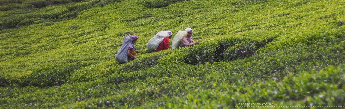 Tea Estate Sri Lanka