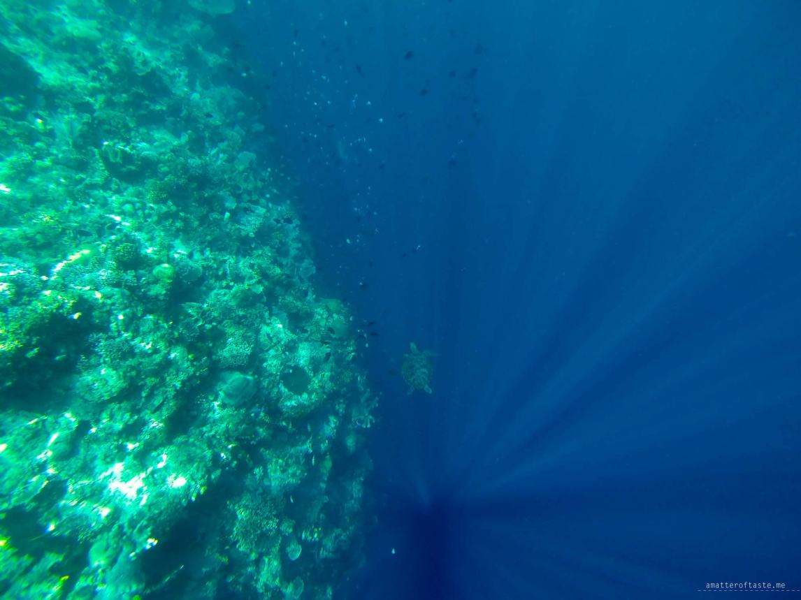 7-bunaken-snorkeling-turtle