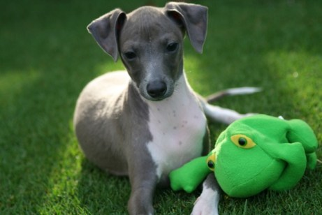 cutest-italian-greyhound-2