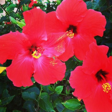 red hibiscus maui