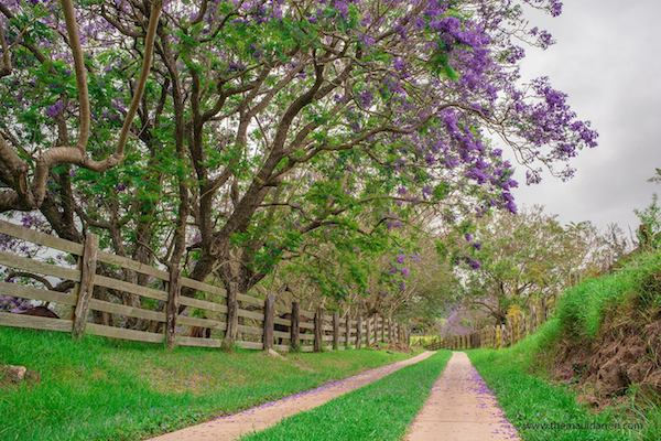 Jacaranda Tree Upcountry Maui 6