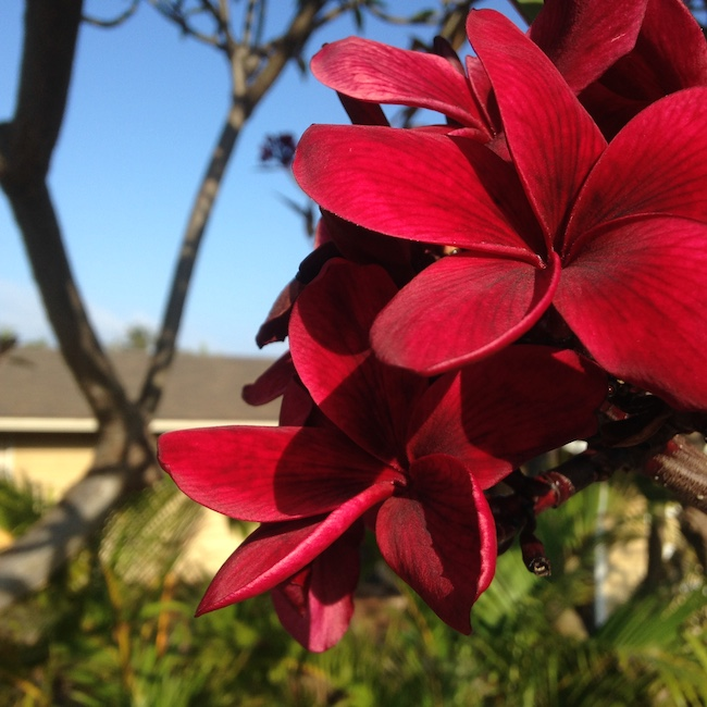 Bright Red Plumeria on Maui