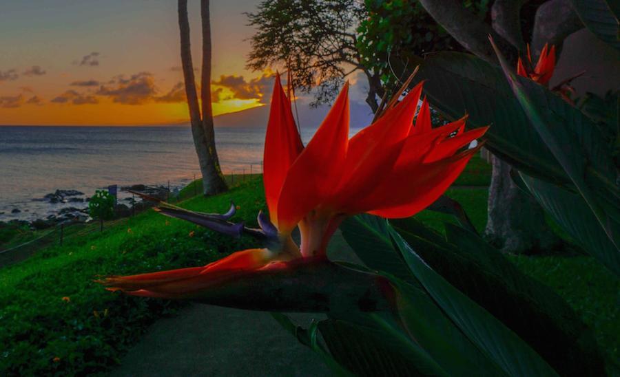 Bird of Paradise and Maui Sunset