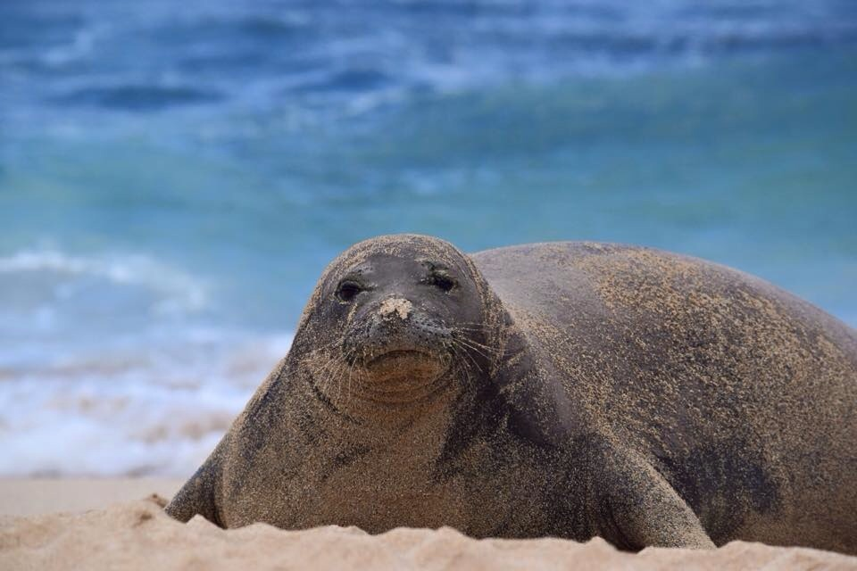 Hawaiian Monk Seal – Let's Help Save In Ways We Can