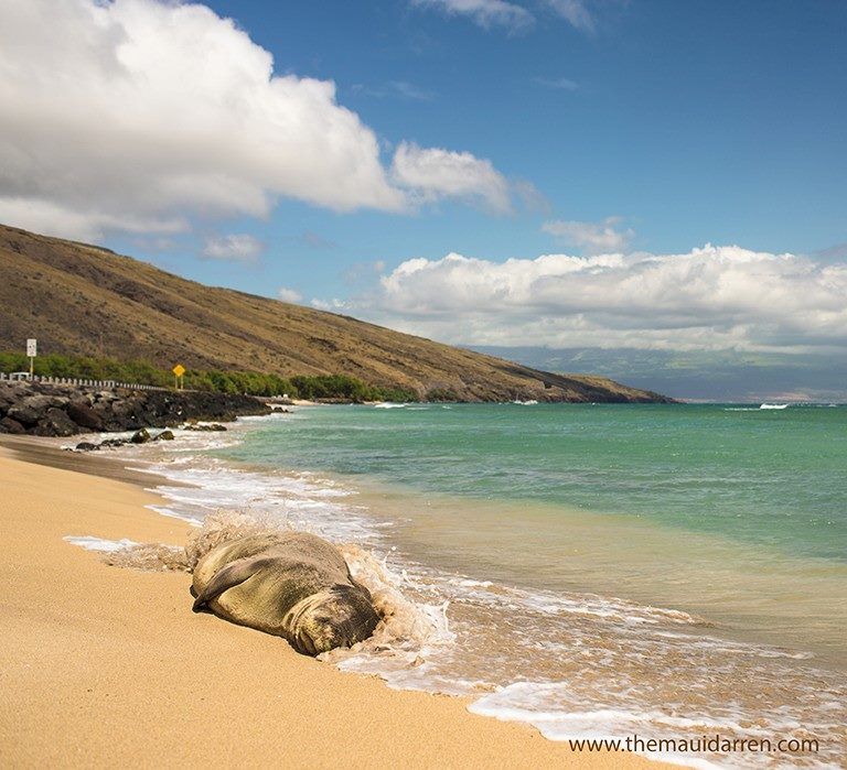 MONK SEAL BY DARREN
