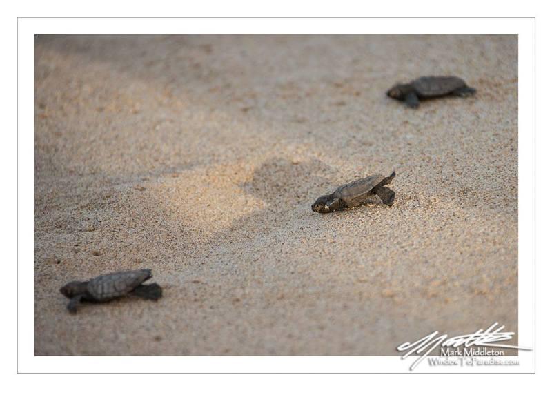 Hawksbill Baby Turtle 4