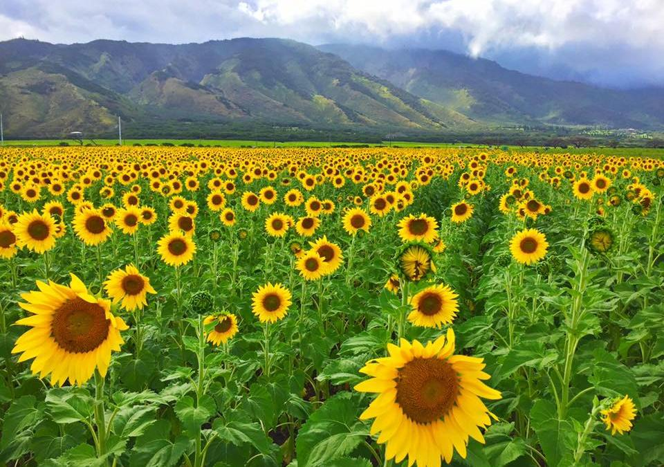What's Up With The Sunflowers on Maui – #MauiSunflowers