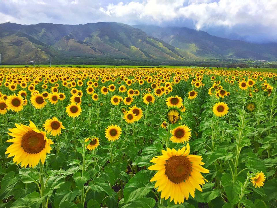 maui-sunflowers