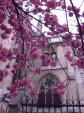 Cascading blossom reveal a glimpse of the cathedral on a cloudy day in spring.