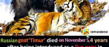 Amur the tiger lashing at Timur the goat