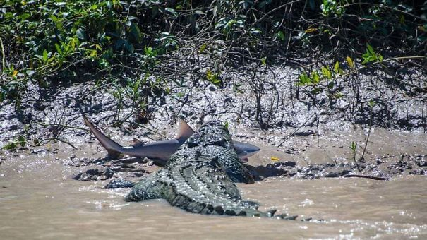 great white sharks in australia attacked by saltwater crocodile