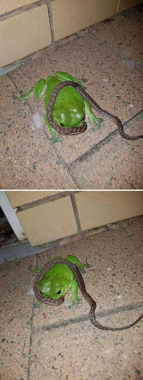 Are you thinking can frogs eat snakes? This image proves frogs eat snake.