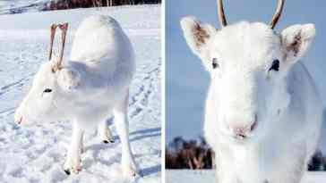 While Hiking in Norway, photographer Mads Nordsveen Captures Extremely Rare White Baby Reindeer