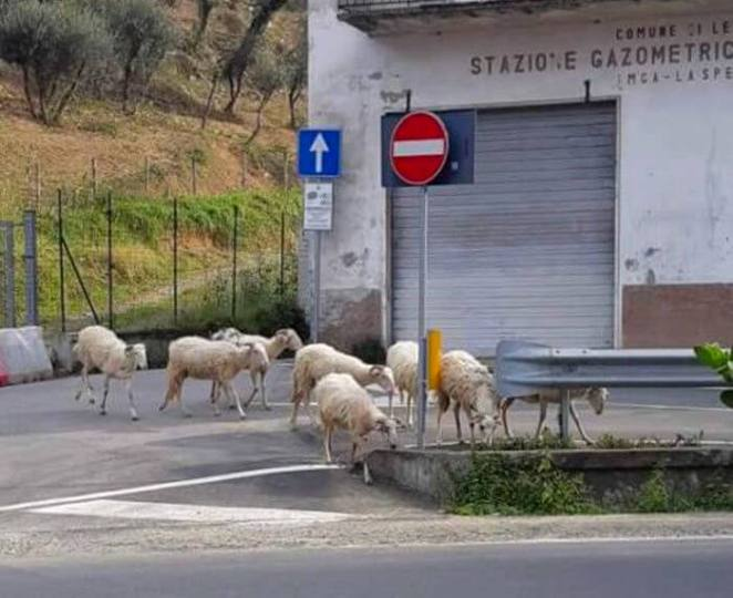 During the quarantine sheep in deserted streets