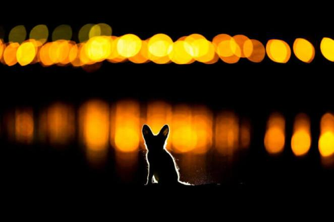 GDT Nature Photographer 2020 second position Glowing Fox