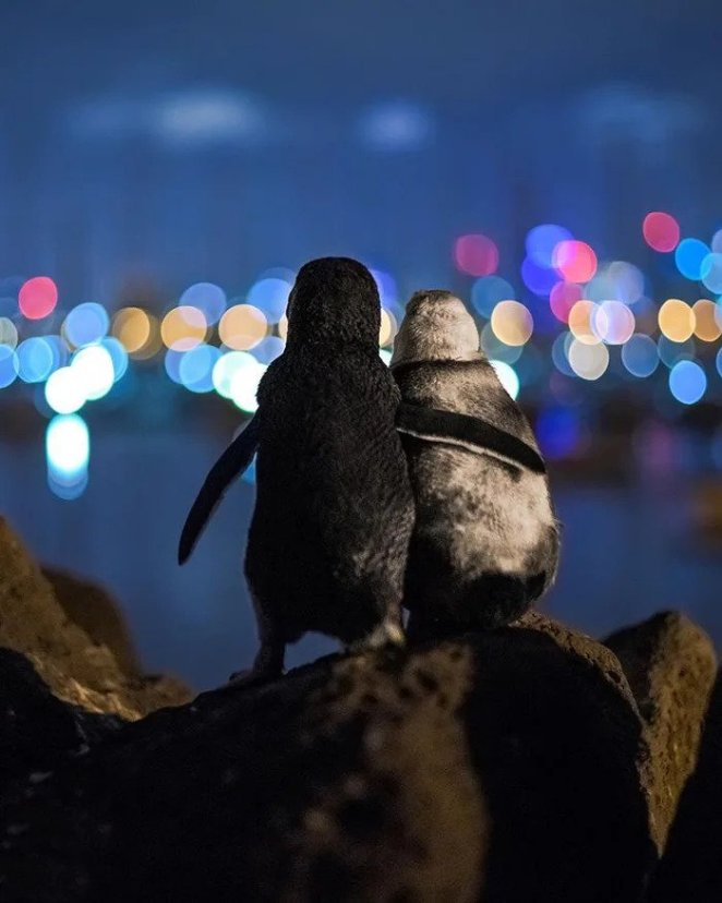 two penguins were surrounded by the hundred little fairy Penguins