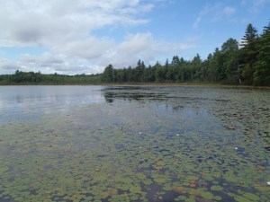Acres and acres of lilypads on Holt Pond