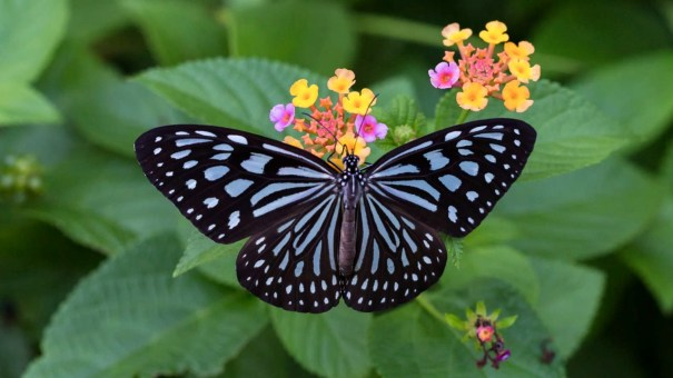 The background colour on the upper surface of the wings of Ceylon Blue Glassy Tiger is black, while the underside is brown. The markings on its fore wing are blue, while those on its hind wing are glass white. The differences in these colours are prominent on the underside. These markings are similar in shape on both the upper and lower surfaces. Its forewing cell has a basal streak and a large spot distally. Three other lines radiate from the base of the fore wing with one thin line above the cell and two broad lines below. This butterfly can be commonly seen in both forests and verdant home gardens, but its distribution is restricted to the western parts of the country ranging from Negombo to Matara.