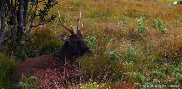 A Samba Deer near the vehicle park @ Horton Plains National Park