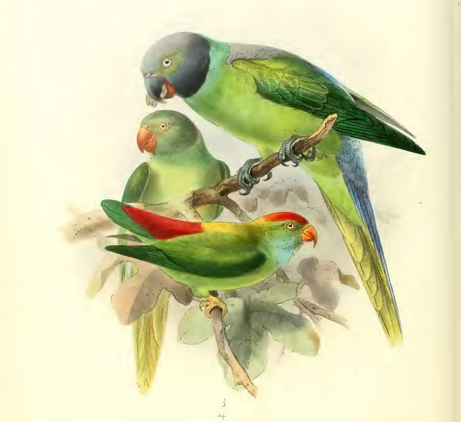 Layard's parakeet (Alu Girawa) watercolour painting