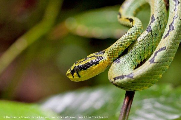 The Green Pit Viper