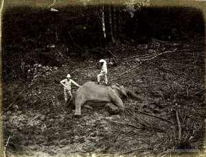 Elephant hunt - 1880