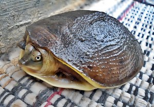 (Lissemys punctata) Indian flap shell Turtle